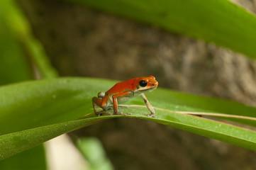 Strawberry Poison Frog