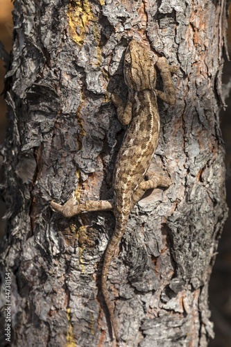 chameleon climbing vertically through the bark of a pine