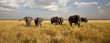Fototapeten,elefant,afrika,afrikanische elefanten,tier