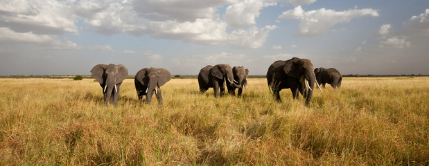 Elephant Herd on the Move: Walking toward the camera