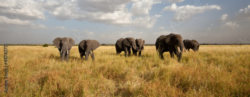 Plexiglas Afrika Elephant Herd on the Move: Walking toward the camera