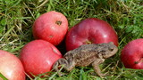 red apples in garden and amphibian big common toad (Bufo bufo) poster