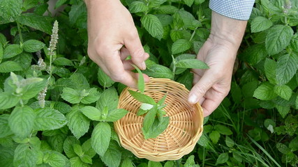 plucking mint fresh medical herbs in summer garden