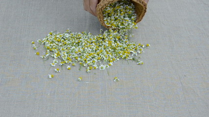 fresh summer medical herbs chamomile blossoms on linen cloth