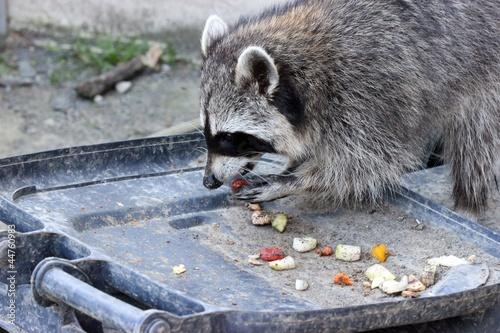 Waschbär frisst aus der Mülltonne