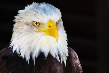 Closeup portrait of an American Bald Eagle