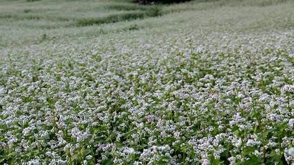 campo si grano saraceno, valtelina