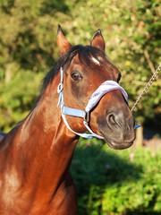 funny portrait of wonderful breed sportive stallion