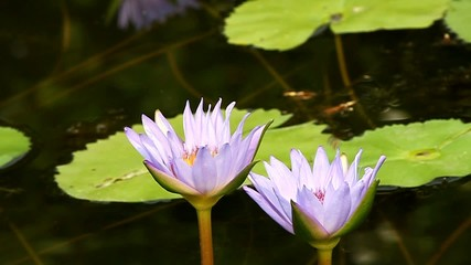beautiful lotus In the pool