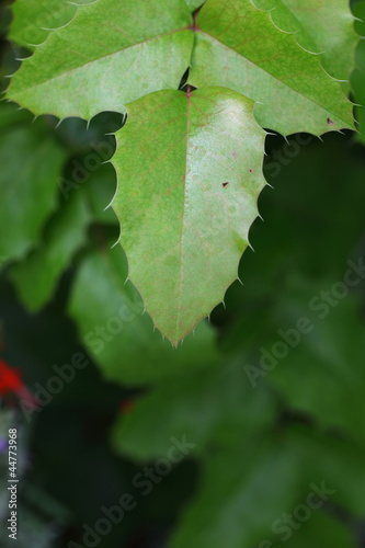 prickly leaves