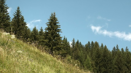 Wild grass field and coniferous trees