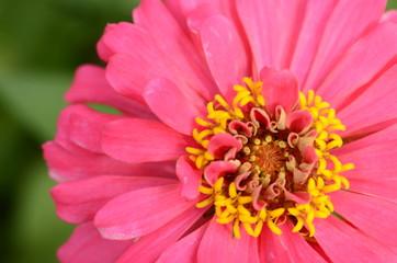 Beautiful blooming pink