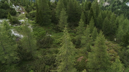 Coniferous woods aerial view