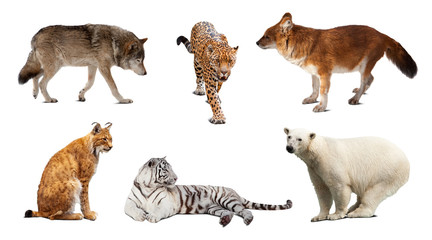 Set of Carnivora mammal. Isolated over white