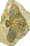 Fossilized long-finned bat fish. Eoplatax Papilio.