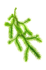 Club Moss (Lycopodium Clavatum) Isolated on White Background