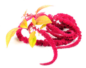 Amaranth (Love-Lies-Bleeding) Flowers Isolated on White