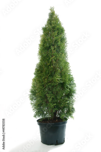 Beautiful thuja (Thuja occ. Smaragd)on white background - 44783558