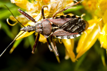 Assassin Bug (Rhynocoris cuspidatus)