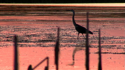 Grey Heron in the sunset...(silhouette)