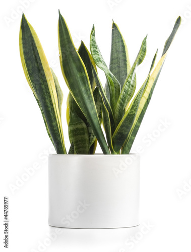 Potted Snake Plant Isolated On White - 44785977