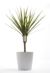 Potted Plant - Draecaena