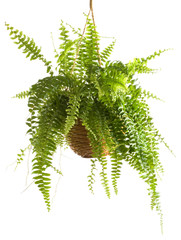 Potted Plant - Fern