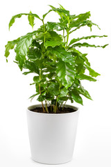 Houseplant - Coffee Tree