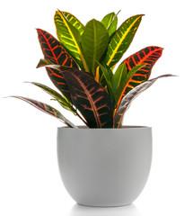 Houseplant - Croton