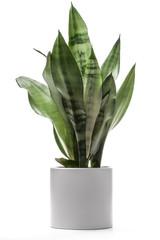 Houseplant - Snake Plant