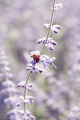 Ladybird on a purple flower