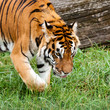 Bengal Tiger Searching for Something in Grass