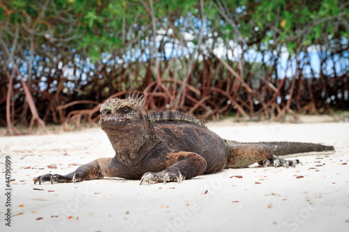 Galapagos iguana on the beach