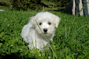 Puppy [Maltese Terrier] in green grass