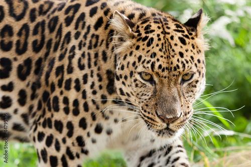Fotobehang Luipaard Head Shot of Amur Leopard Stalking Forwards