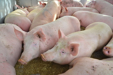 Pigs inside of a livestock trailer
