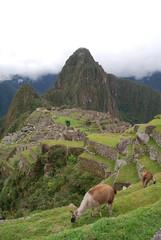 Dos llamas en las ruinas del Machu Picchu.. Peru