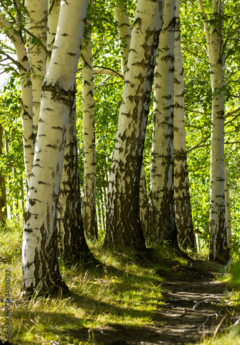 Trail in the forest with birch trees