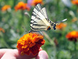 butterfly on marigold flower in human hand