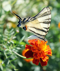 butterfly (Scarce Swallowtail) on marigold flower