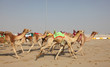Racing camels in Doha. Qatar, Middle East