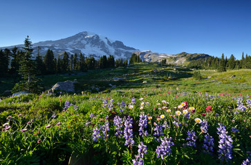 Wildflowers in Paradise, Mt. Rainier National Park
