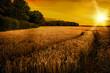 Wheat Ripening in Late Summer Sun, Shropshire