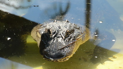 American Alligator in the Florida Everglades