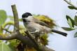 Mésange nonnette - Marsh Tit - Poecile palustris