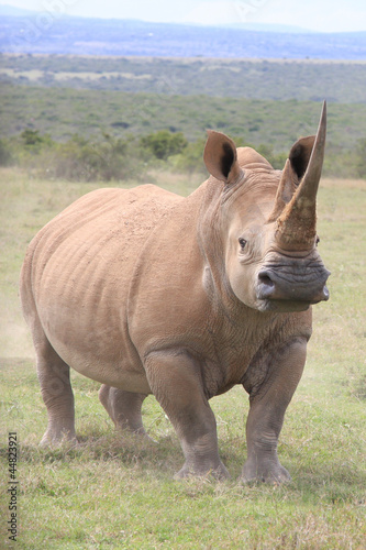White rhino squaring up for a fight in Kenya