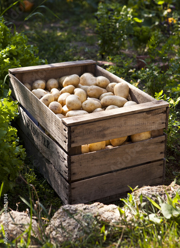 caisse de pommes de terre dans jardin potager de studiophotopro photo libre de droits 44824934. Black Bedroom Furniture Sets. Home Design Ideas