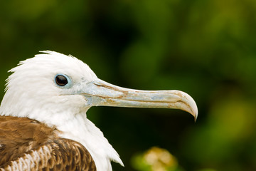 Female Magnificent Frigatebird