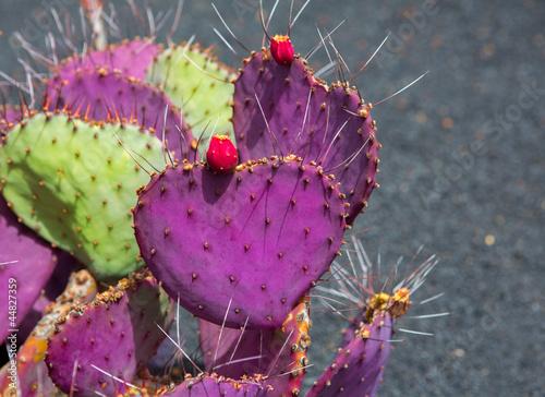 Lanzarote Guatiza cactus garden Opuntia Macrocentra
