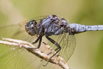 Epaulet Skimmer (Orthetrum chrysostigma)